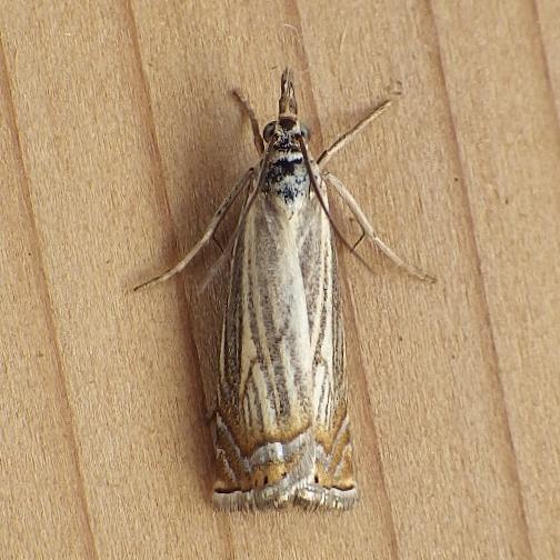Crambidae: Chrysoteuchia topiarus - Chrysoteuchia topiarius