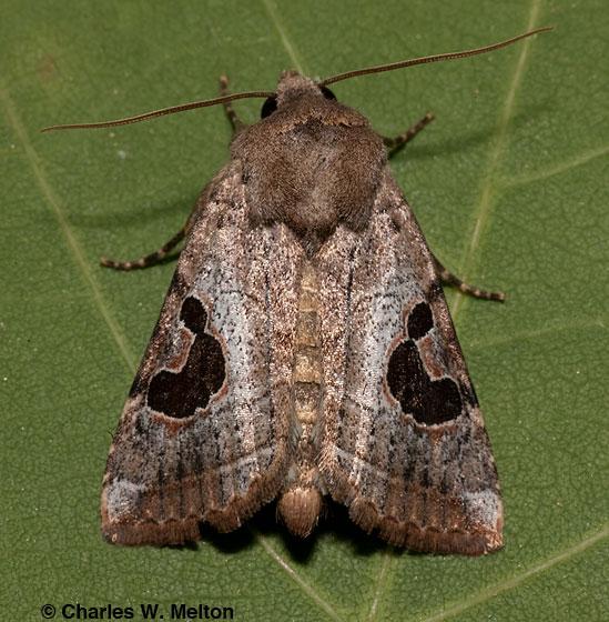 Noctuid - Hypotrix lunata