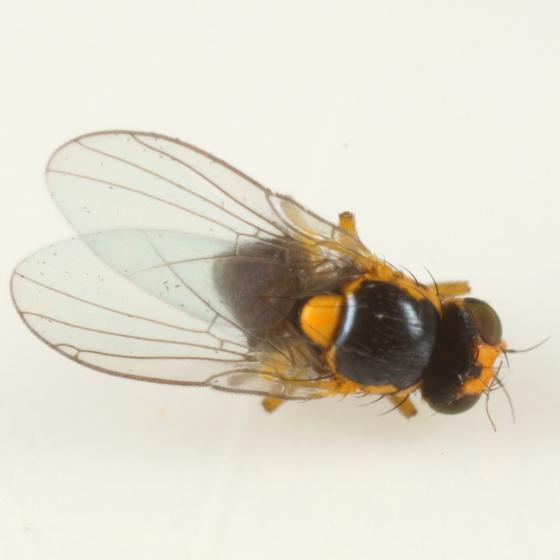 Liriomyza from whorled wood aster - Liriomyza limopsis - male