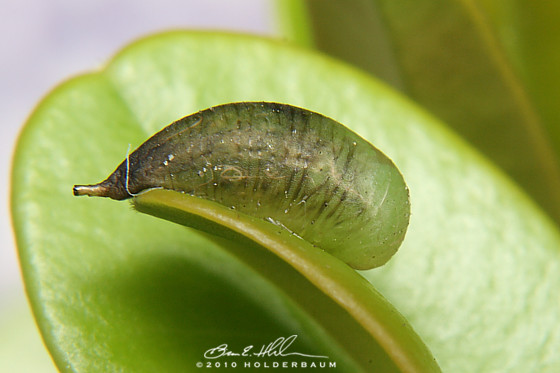 Hover Fly Pupa - Allograpta - female