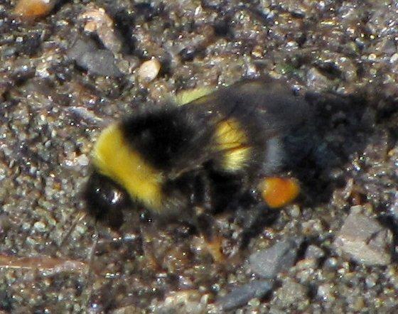 colourful bee - Bombus cryptarum