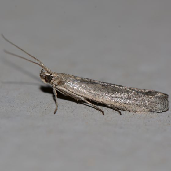Gray Moth with Cream-colored Band