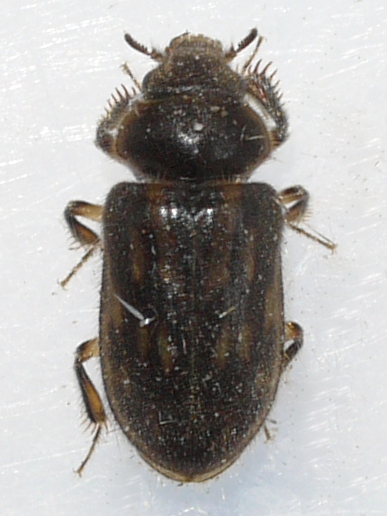 beetle - Heterocerus