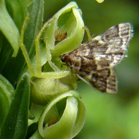 Moths pollinating Tall Green Orchid (Platanthera hyperborea) - Anageshna primordialis