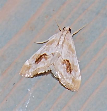 Evergestis Lunalalis Hodges #4902 - Evergestis lunulalis