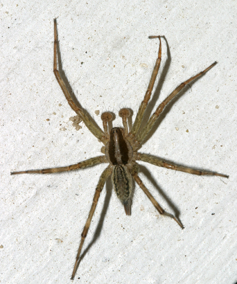 male grass spider - Agelenopsis - male