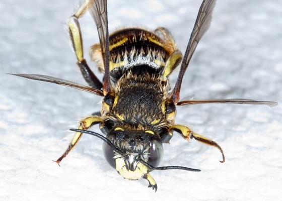 European Wool Carder Bee - Anthidium manicatum - male