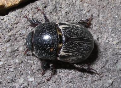 Beetle - Euetheola rugiceps