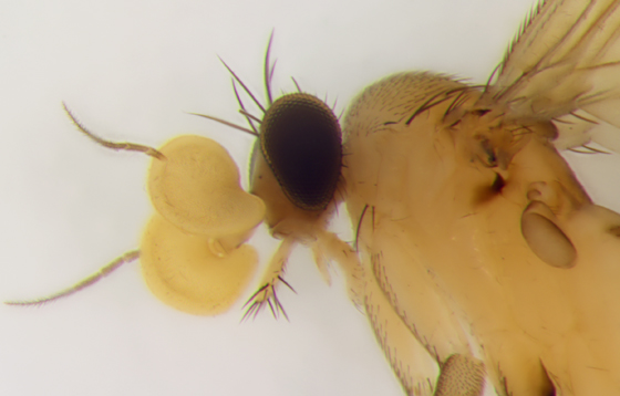 Phoridae - wow antennae - Lecanocerus compressiceps - male