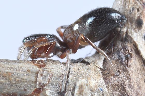 Jumper - Synageles bishopi - female