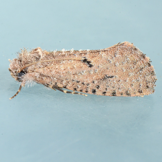 Moth for ID - Acrolophus kearfotti