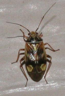 True Bug? - Lygus