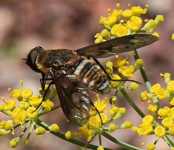 Bombyliidae-Exoprosopa - Exoprosopa pueblensis