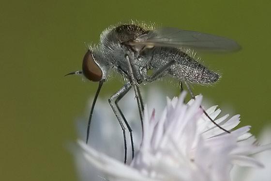 Hover fly - may be - Geron