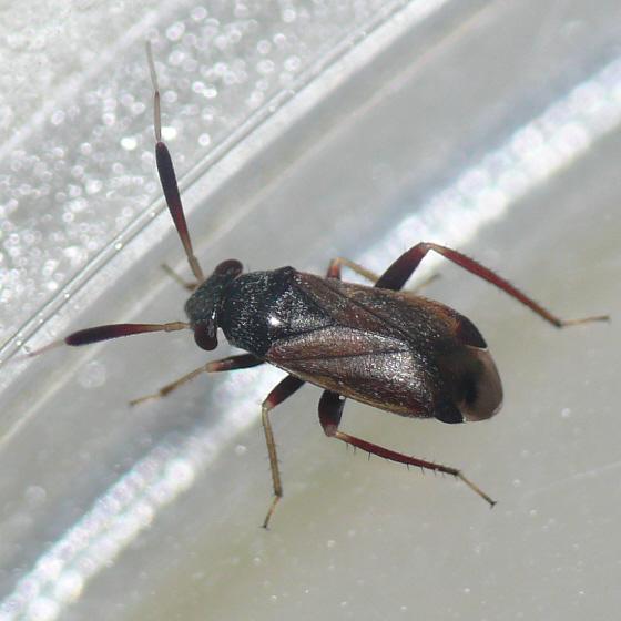 Alepidiella heidemanni