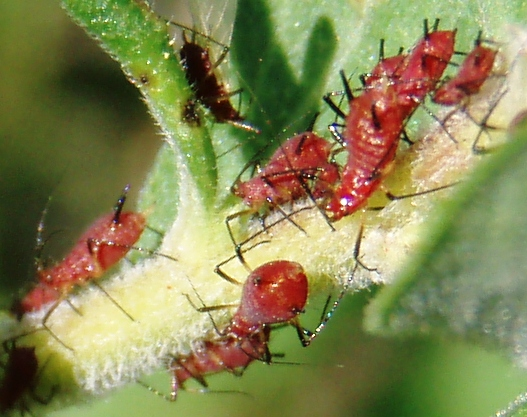 red aphids on goldenrod - Uroleucon