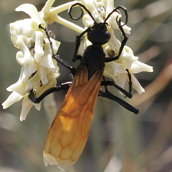 Flying insect with orange wings - Pepsis pallidolimbata
