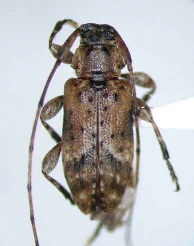 Sternidius alpha