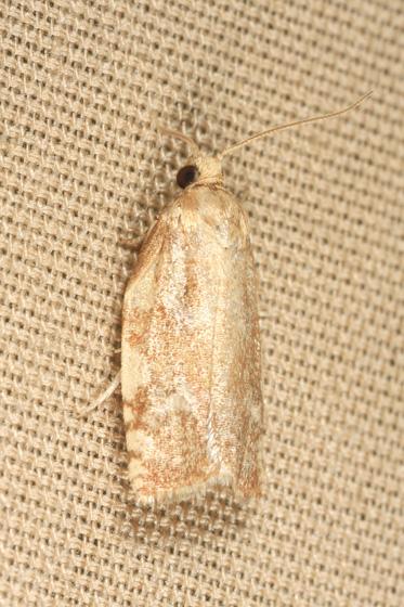 Moth - Archips negundana