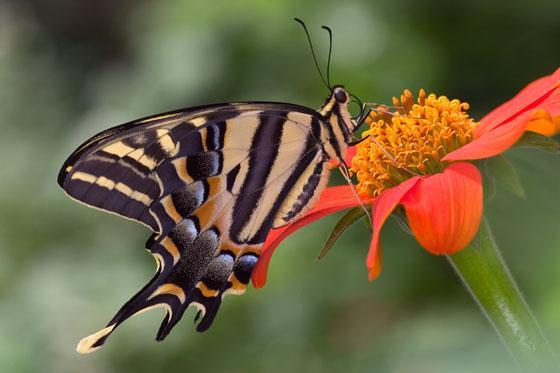 Three-Tailed Swallowtail - Papilio pilumnus - male