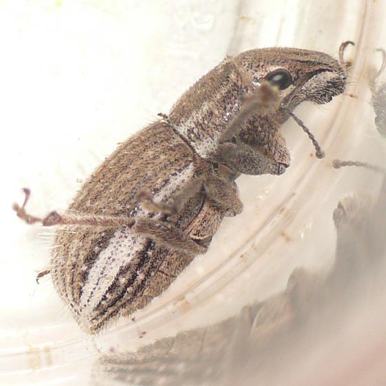 Large weevil - Naupactus leucoloma