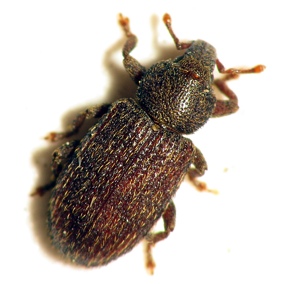 Little Weevil - Hormops abducens