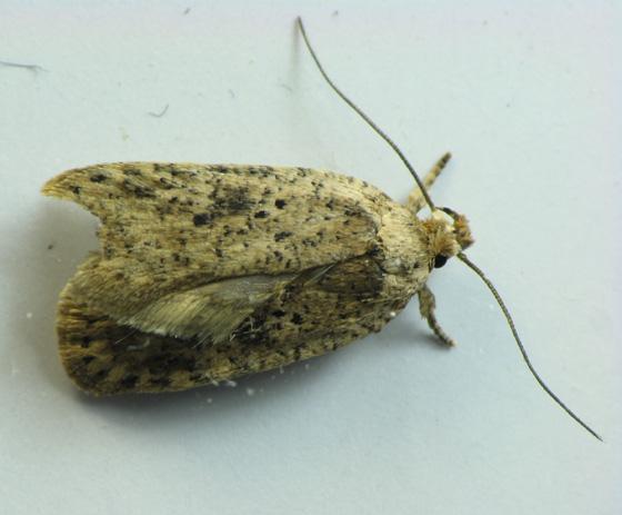Leaf roller moth from Shenandoah - Agonopterix senicionella