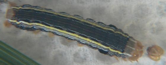 Yellow-striped Armyworm - Spodoptera ornithogalli