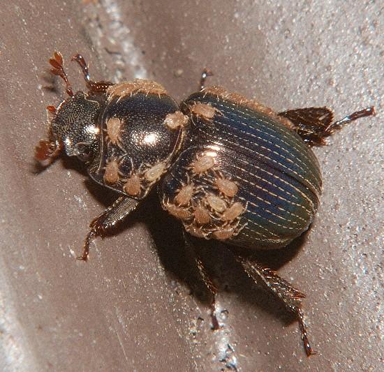 Infested beetle - Germarostes globosus