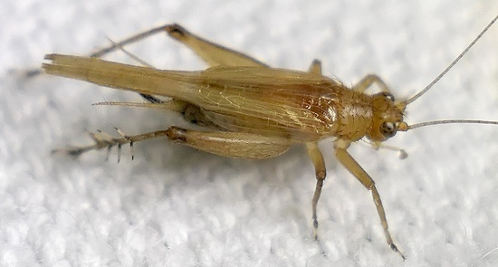 trig - Anaxipha - female