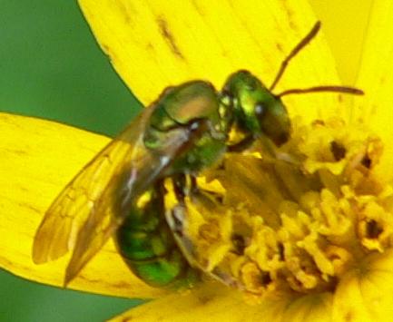 Green bee - Augochlora pura - female