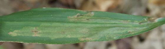 Underside - Agromyza