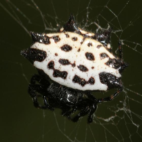 Texas spiders - Gasteracantha cancriformis