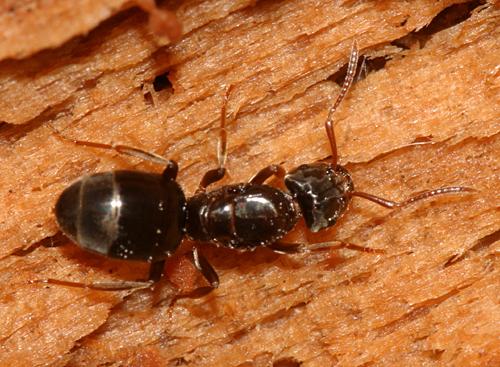 Ant - Lasius - female