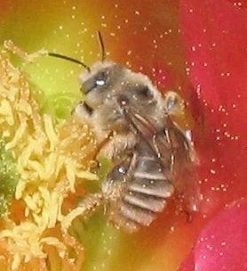 Bee - Diadasia - male