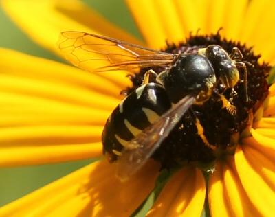 unknown bee/wasp - Bicyrtes quadrifasciatus