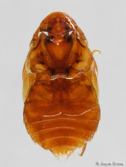 Beaver Parasite Beetle - Platypsyllus castoris