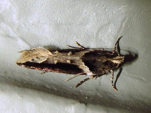 #1858 Telephusa longifasciella - Telphusa longifasciella