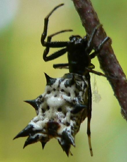 Spined Micrathena gracilis - Micrathena gracilis - female