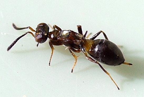 flightless wasp - Eupelmus messene - female