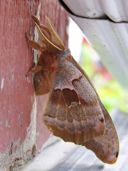 Polyphemus Moth - - Antheraea polyphemus - male