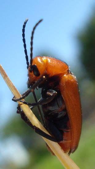 which beetle ? - Nemognatha