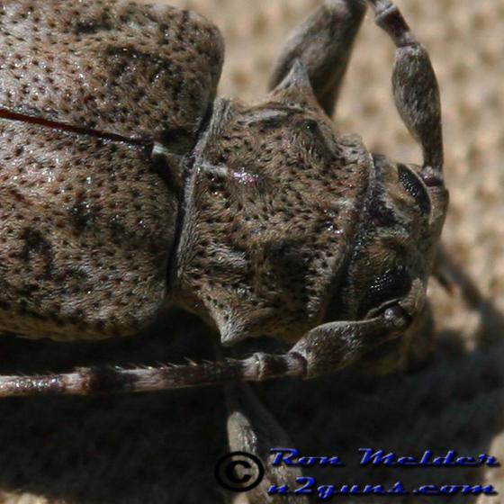 Longhorned Beetle? - Aegomorphus modestus