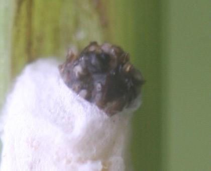 parasitic arthropod