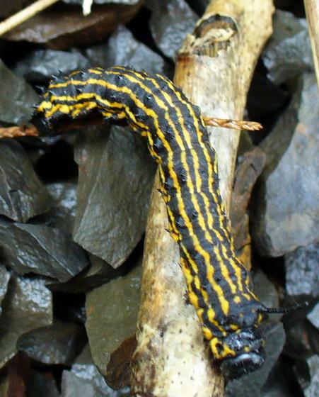 Yellow And Black Caterpillar Anisota Senatoria Bugguide Net