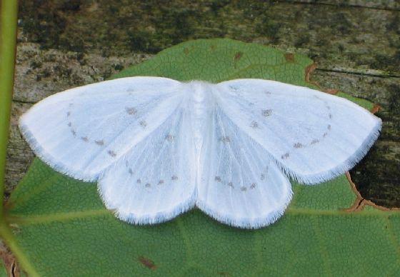 gray-spotted white moth - Eudeilinia herminiata