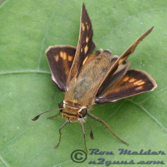 Skipper 02 - Hylephila phyleus - female