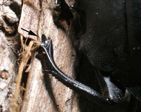 Humpback Dung Beetle - Deltochilum gibbosum - male