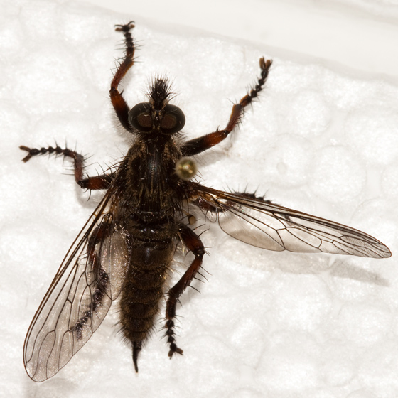 Large robber fly - Neomochtherus comosus