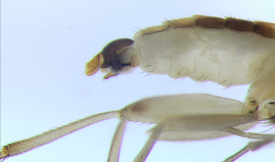 Fly - end of abdomen - Lecanocerus compressiceps - male